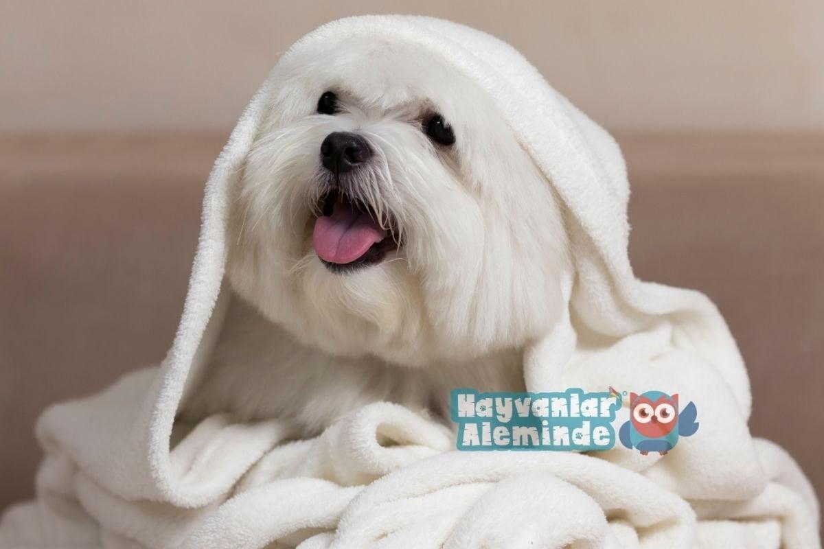 beyaz köpek ırkları