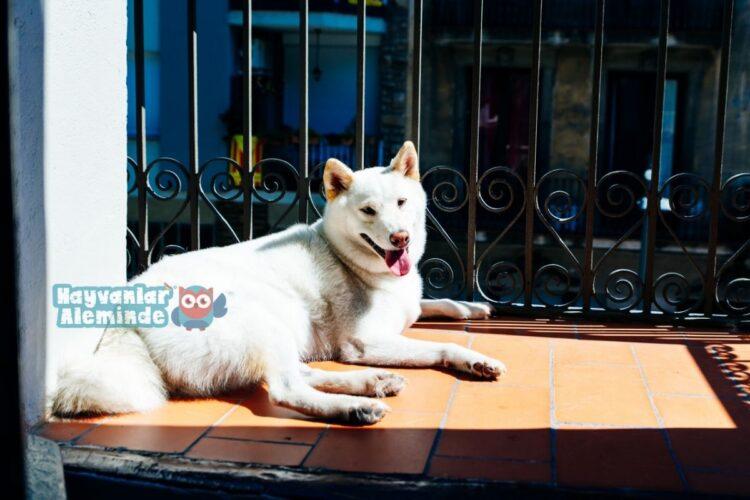 beyaz tüylü köpek cinsleri