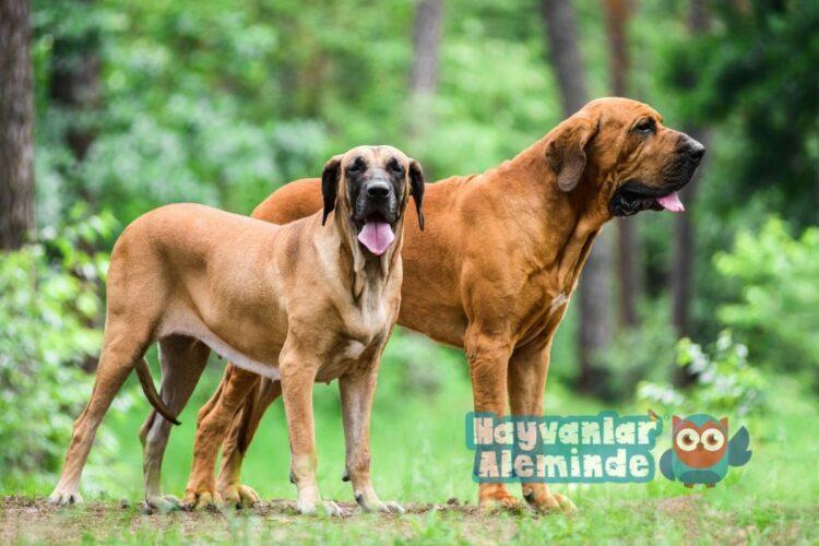 Brezilya mastiff