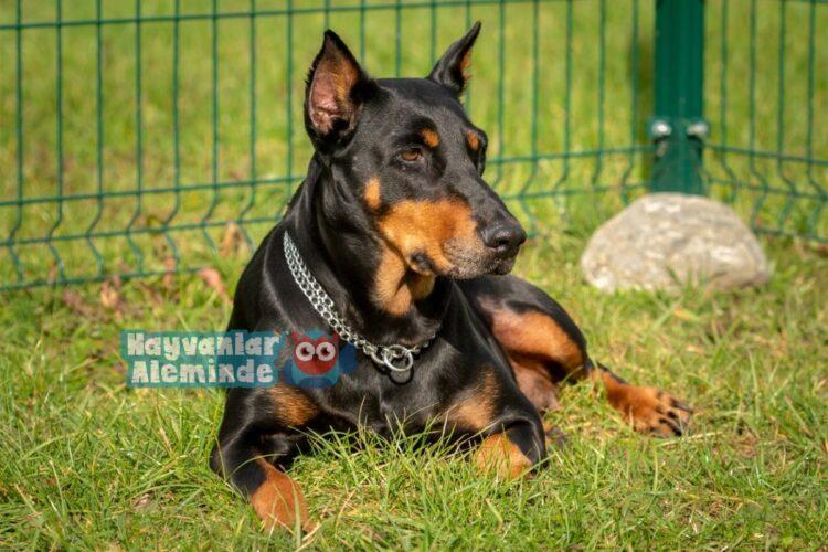 Doberman bekçi köpeği cinsi