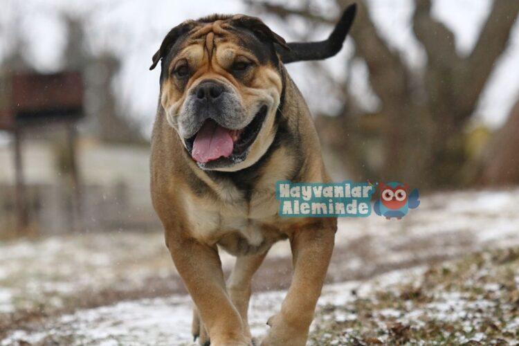 erkek köpekler için yabancı isimler