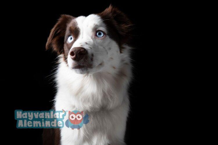 minyatür amerikan çoban köpeği