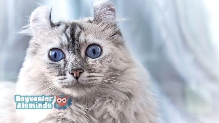 nadir görülen kedi cinsleri