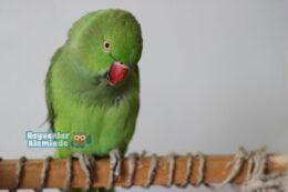 Pakistan Papağanı özellikleri ve bakımı