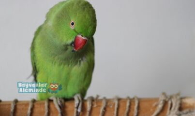 pakistan papağanı
