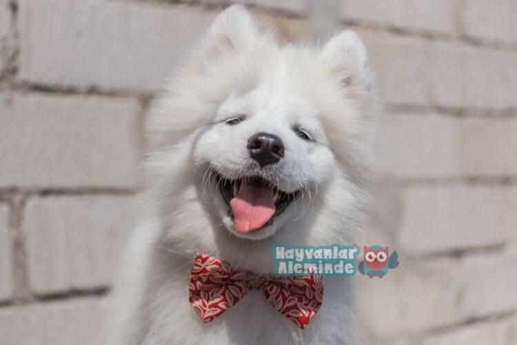 samoyed beyaz köpek