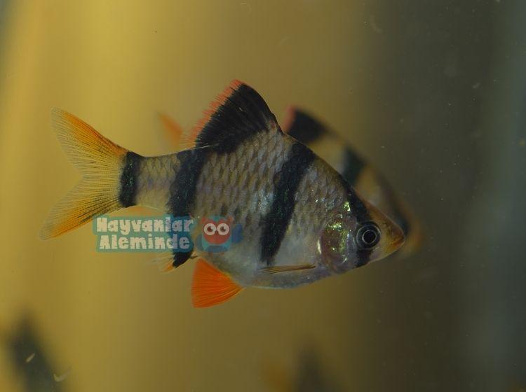 Tetrazon balığı