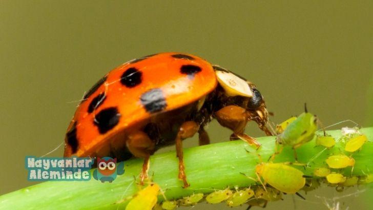Uğur böcekleri ne yer