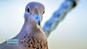 üveyik kuşu hikayesi