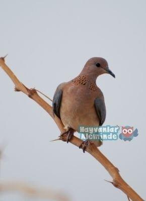 Üveyik kuşu özellikleri