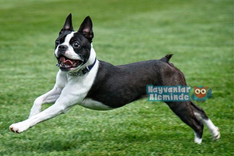 boston terrier köpek