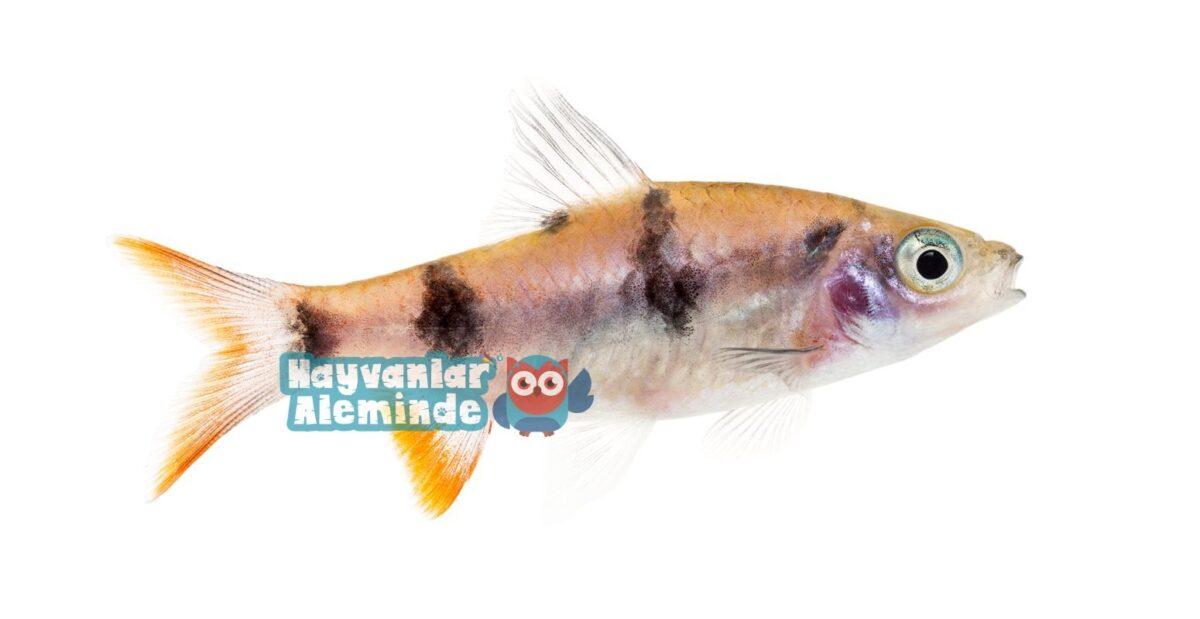 Dawkinsia Balığı