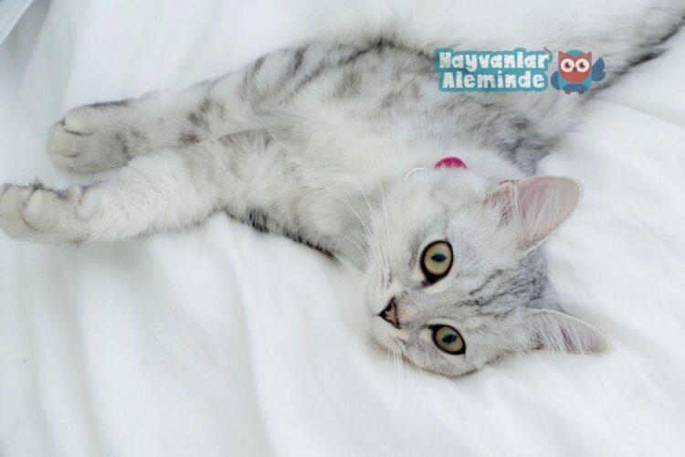 Tiffanie Kedisi Bakımı