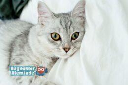Tiffanie Kedisi Bakımı ve Özellikleri