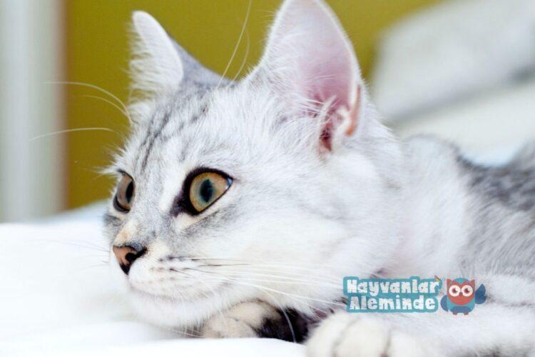 Tiffanie kedisi özellikleri