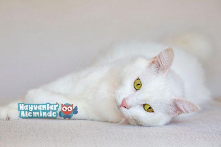 beyaz kedi ırkları
