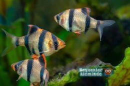 Barbus Akvaryum Balığı Türleri