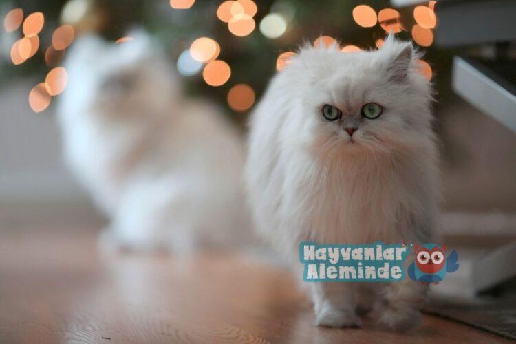 beyaz iran kedisi