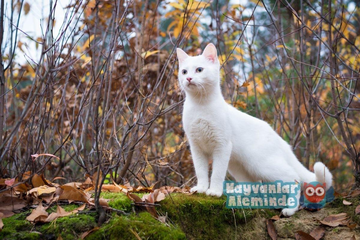 beyaz kedi cinsleri