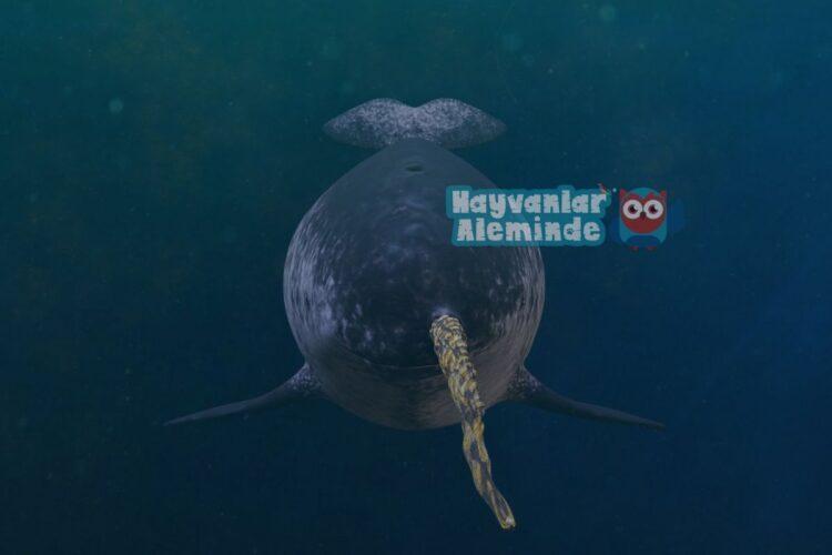 deniz gergedanı