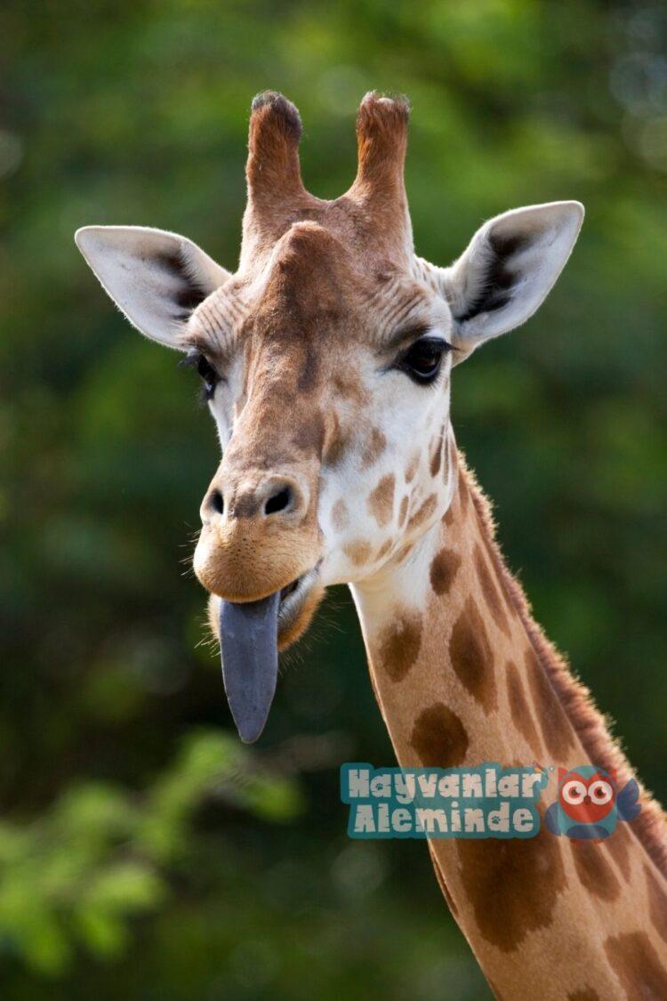dil çıkaran zürafa