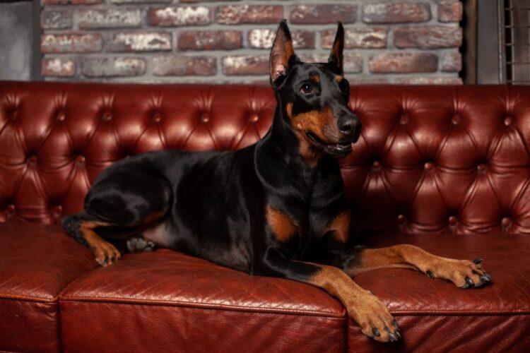 doberman - kısa tüylü köpekler
