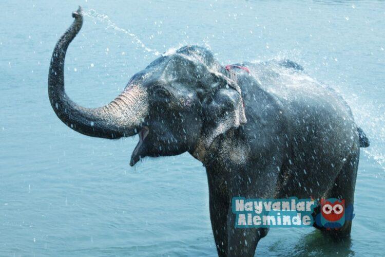 dünyanın en zeki hayvanı fil