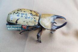 Herkül Böceği özellikleri