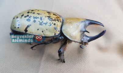 herkül böceği