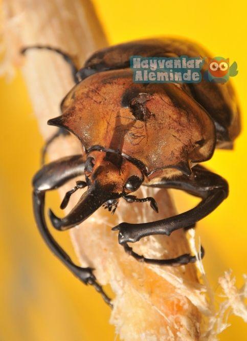 herkül böceği ağırlığı