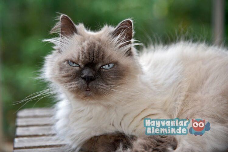 himalayan kedisi özellikleri