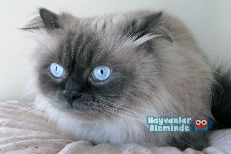 himalayan kedisi rahatsızlıkları
