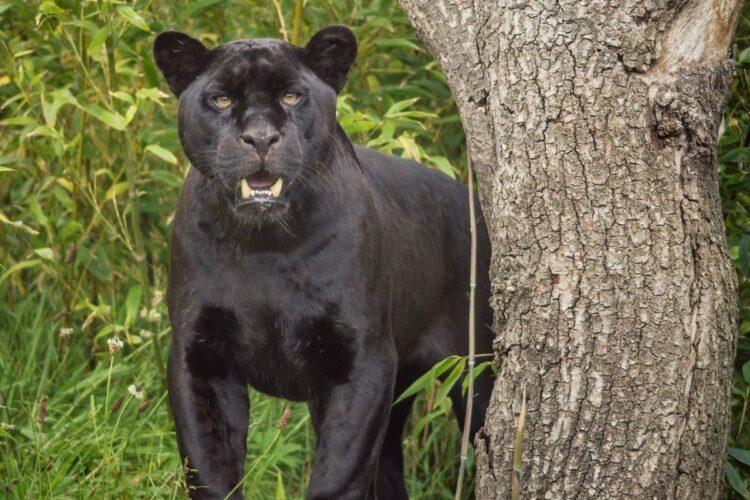 jaguar dişleri