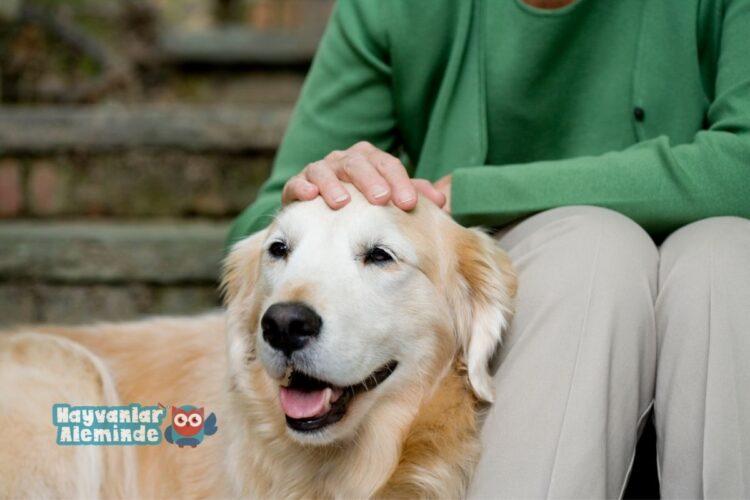kisa tüylü köpek cinsleri - labrador