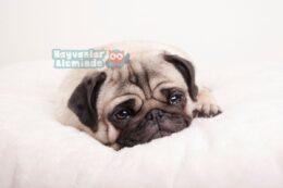 Köpek Ağlaması Ne Anlama Gelir?