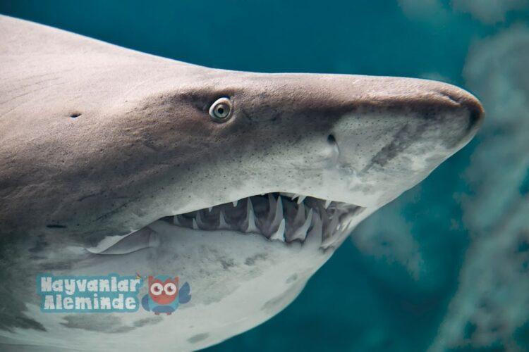 köpek balığı dişleri