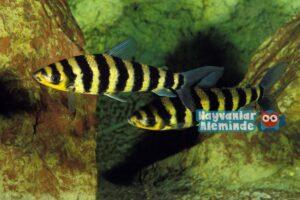 leporinus balığı