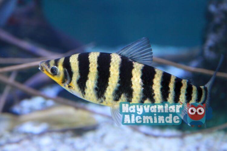 leporinus balığı bakımı