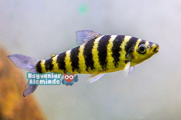 leporinus balığı özellikleri