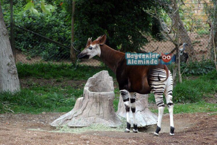 Okapi sıra dışı hayvanlar