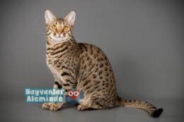 Savannah Kedisi Özellikleri, Karakteri ve Bakımı