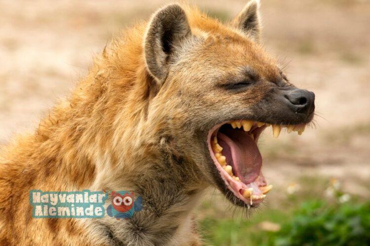 sırtlan dişleri