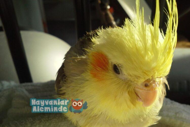 Banyo sonrası Sultan Papağanı
