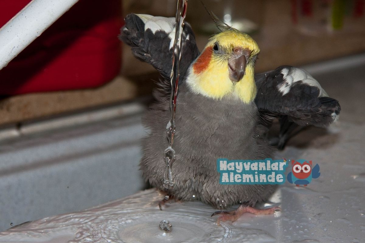 sultan papağanı nasıl yıkanır