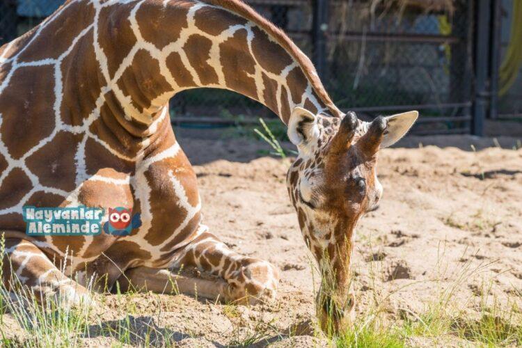 uyuyan zürafa