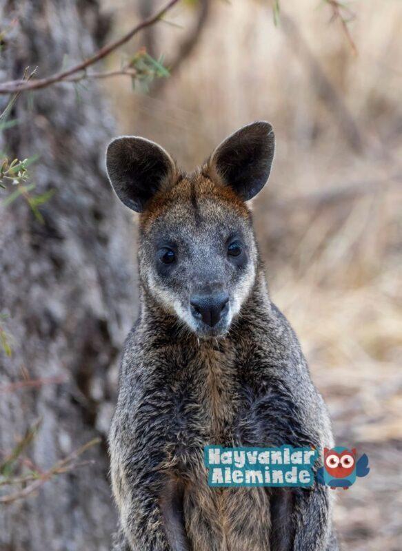valabi kanguruları