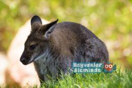 Valabi kangurusu hakkında tüm merak ettikleriniz