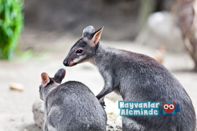 valabi kangurusu yaşamı