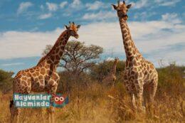 Zürafalar Üzerine 5 Muhteşem Bilgi