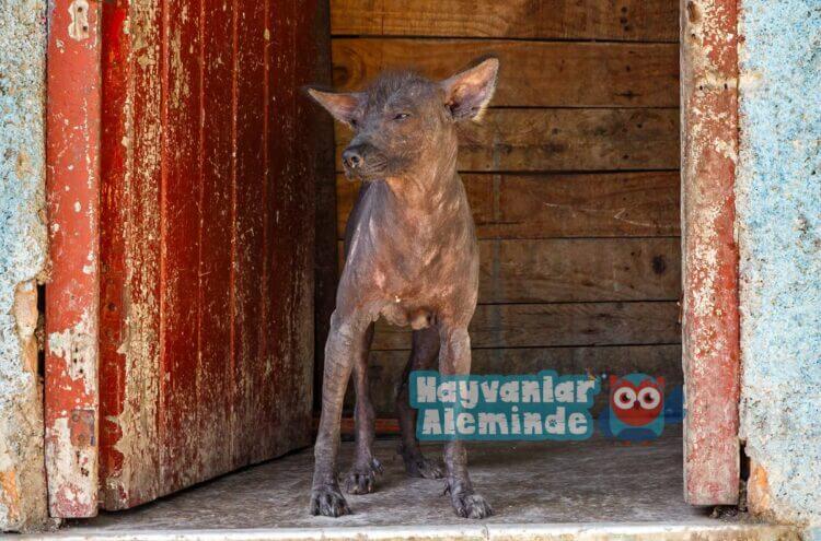 Abyssinian Kum Köpeği